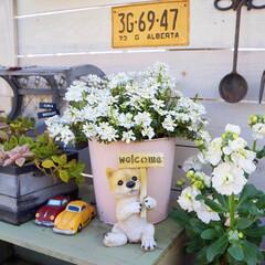 花が好き/ガーデン雑貨/花のある暮らし/花の寄せ植え/ベランダガーデニング/ガーデニング/... おはようございます🎵 昨年秋から、ずっと…