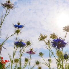 ニゲラ/ベランダガーデニング/花のある暮らし/花が好き ☆。.:*・゜ 花の名前は『ニゲラ』✩.…