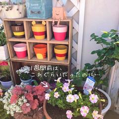 ベランダガーデニング/花のある暮らし/花が好き/春のフォト投稿キャンペーン 1週間前のサフィニアアートが あっという…(1枚目)