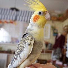 癒しの存在/今日で1ヶ月/小鳥のいる暮らし/インコのいる生活/セキセイインコ/オカメインコ/... こんばんは!🌌 今日は、大雨でした☔ 記…
