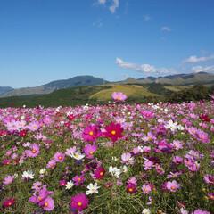 子どもとお出かけ/秋の行楽日和/自然を感じる/阿蘇ミルク牧場/コスモス畑/秋 秋風になびくコスモスが、阿蘇の山々に映え…