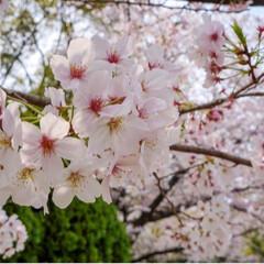 家族でお出かけ/桜満開/動物園/LIMIAおでかけ部/春の一枚 おはようございます☀ 今朝も青空が広がり…