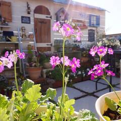 手作りガーデン/ベランダガーデニング/花のある暮らし/ガーデニング/ベランダDIY サクラソウが咲き始めました🎵 春を感じま…