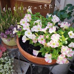 ベランダガーデニング/花のある暮らし/花が好き/春のフォト投稿キャンペーン 1週間前のサフィニアアートが あっという…(2枚目)