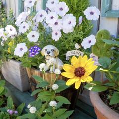 向日葵/花のある暮らし/ベランダDIY/ベランダガーデン/ベランダガーデニング 梅雨時期とは思えないほどのお天気☀️.°…