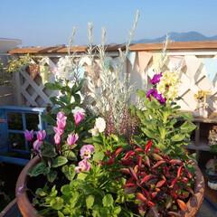 mygarden/寄せ植え/ナチュラルガーデン/手作りガーデン/秋の寄せ植え/ベランダガーデニング/... こんばんわ~ ガーデニングが楽しい季節で…