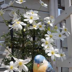 花が好き/花のある暮らし/ガーデニング/ベランダガーデニング/ナチュラルガーデン/春のフォト投稿キャンペーン/... お気に入りの花💕 クレマチスカートマニー…