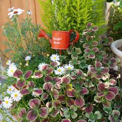 花が好き/花のある暮らし/ガーデニング/四つ葉のクローバー おはようございます🎵 先日、ベランダの寄…