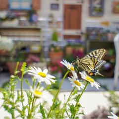 アゲハ蝶/ルーフバルコニー/テラス/花のある暮らし/ベランダガーデニング/春の一枚 我が家のテラスに ひらひらと🦋が遊びに来…