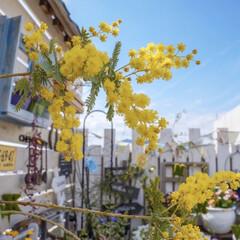ナチュラルガーデン/ガーデニング/パーゴラ/ベランダガーデニング/ミモザ/花のある暮らし おはようございます☀  我が家のミモ…