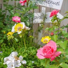 花が好き/薔薇/ベランダDIY/花と緑のある暮らし/ベランダガーデニング こんにちは🎵 アンジェラ 🌹に続き、レオ…