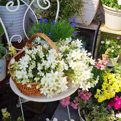 ナチュラルガーデン/クレマチス/寄せ植え/花のある暮らし/ベランダガーデニング/花が好き/... おはようございます🎵 バルコニーの花も …(2枚目)