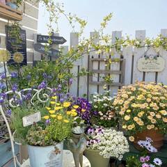 ナチュラルガーデン/マイガーデン/ボンザマーガレット/ガーデニング/ベランダガーデニング/花のある暮らし/... 春の庭🐝⋆︎*゚∗🐝 ボンザマーガレット…