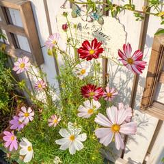コスモス/ベランダガーデニング/花が好き/花のある暮らし 大好きな大好きなコスモスが 咲き始めまし…
