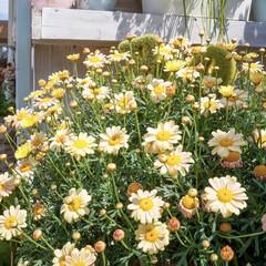 花の寄せ植え/ガーデニング/ベランダガーデニング/花のある暮らし 春…ですね🌸🌸🌸  4月になって、お…(4枚目)