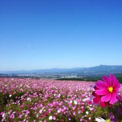 秋空と秋桜/大自然/自然に触れる/子どもとお出かけ/コスモス畑/阿蘇ミルク牧場/... 熊本地震後、初めて阿蘇に行きました😊久し…