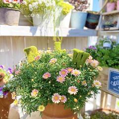 ガーデニング/花のある暮らし/チューリップ/ボンザマーガレット/ベランダガーデニング/ナチュラルガーデン 春の陽射しをたっぷりあびて チューリップ…(2枚目)