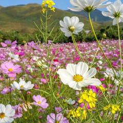 大自然/花が好き/南阿蘇/コスモス畑 こんばんは!  即位礼正殿の儀の祝日の今…