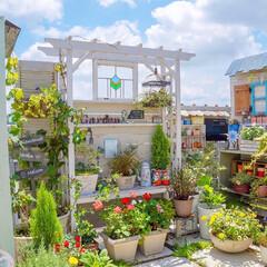 DIY/山葡萄/パーゴラ/花と緑のある暮らし/ベランダガーデニング パーゴラの横で育てている山葡萄🍇 だいぶ…