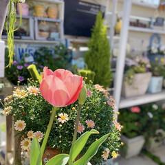 ガーデニング/花のある暮らし/チューリップ/ボンザマーガレット/ベランダガーデニング/ナチュラルガーデン 春の陽射しをたっぷりあびて チューリップ…(1枚目)
