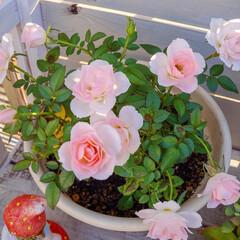 花が好き/ミニバラ/ガーデニング/花のある暮らし/ベランダガーデニング おはようございます🎶 ミニバラがとてもチ…
