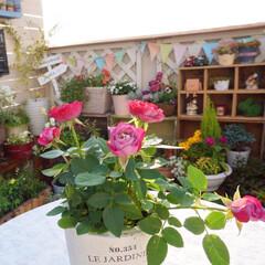 花がある暮らし/癒しの空間/ミニバラ/花が好き/手作りガーデン/ベランダガーデニング ミニバラに一目惚れ~😍✨