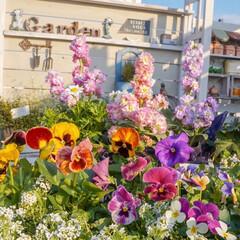 ビオラ/パンジー/花苗/冬の花/花が好き/花の寄せ植え/... おはようございます! 今日もガーデニング…