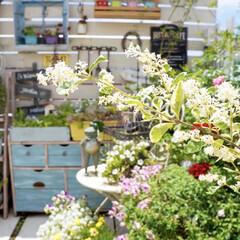 小屋風/花のある暮らし/ガーデニング/ベランダガーデニング/ベランダガーデン/DIY シルバープリペットの白い花が  いつ…