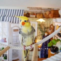 オカメインコ/カフェ風インテリア/ナチュラルインテリア/インコのいる暮らし/DIY/フォロー大歓迎  鳥さん あるある🐥🎶  ふっくらし…