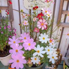 コスモス/花が好き/ガーデニング おはようございます☀️.°  朝は冷える…