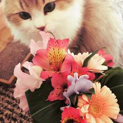 お花/モフモフ/ペルシャ猫/LIMIAペット同好会/フォロー大歓迎/はじめてフォト投稿/... お花が好き