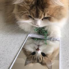 ペルシャ猫/モフモフ/好奇心旺盛にゃんこ/春のフォト投稿キャンペーン/フォロー大歓迎/LIMIAファンクラブ/... 「こ、この美しい猫は誰なりにゃ…」