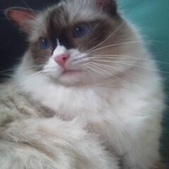 ラグドール/モフモフ/おすまし/保護猫ちゃん/LIMIAペット同好会/ペット/... ブルーの瞳がとても綺麗なラグドールくん。