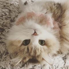 ペルシャ猫/猫のいる暮らし/逆さま猫/ヘソ天/フォロー大歓迎/LIMIAペット同好会/... 名前を呼ぶと返事してくれるにゃんこ、可愛…