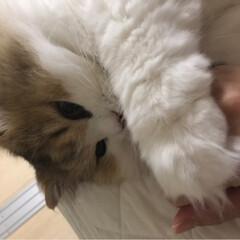 猫のいる暮らし/寝姿/ふわふわ/ペルシャ猫/令和元年フォト投稿キャンペーン/LIMIAファンクラブ/... 寝る前の甘えん坊タイム💕