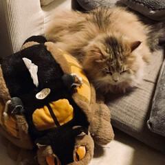 寝姿/モフモフ/ペルシャ猫/LIMIAペット同好会/フォロー大歓迎/はじめてフォト投稿/... 猫バスと同化するにゃんこ。  一度だけよ…