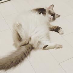 モフモフ/保護猫ちゃん/ラグドール/LIMIAペット同好会/フォロー大歓迎/はじめてフォト投稿/... ヘソ天ラグドールくん。 無防備な姿は癒さ…