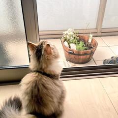 猫は空が好き/猫の後ろ姿/猫のいる暮らし/ペルシャ猫/春のフォト投稿キャンペーン/フォロー大歓迎/... 雨来そうだにゃ。