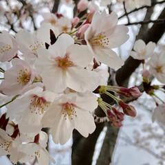 お花見/春/おでかけ/春の一枚 春といえば桜! 綺麗に咲いています😊
