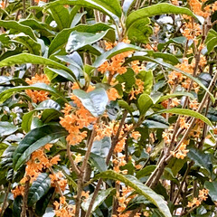 香り/花/金木犀 台風で少し花が落ちたけど咲いてくれたぁー…