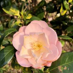 癒し/花 朝日にあたる椿?綺麗に咲いてました😊 癒…