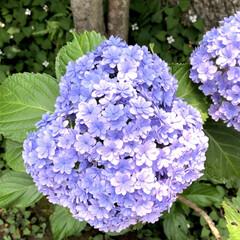 江ノ島/紫陽花/雨季ウキフォト投稿キャンペーン 江ノ島の紫陽花です!今が見頃です(^^)
