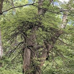 自然/夏休み/登山/風景 お昼休憩中に何だか凄い木を発見!!