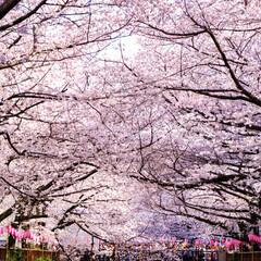 目黒川/東京/桜/春 目黒川の桜です🌸 本当に綺麗で感動しまし…
