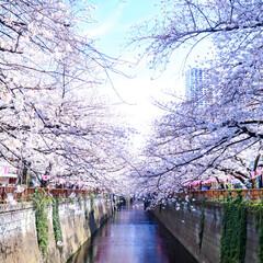 桜/東京/目黒川/中目黒