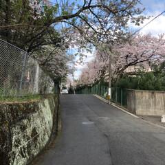 通勤途中/花/桜/春/フォロー大歓迎/風景 通勤途中の桜も咲きました🌸 花には疎くて…