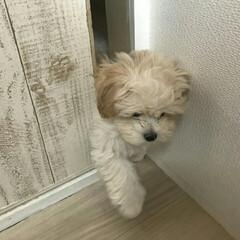 成長記録/マルプー/ペット/犬 ほっぷ、娘の部屋に侵入することを覚える😂…