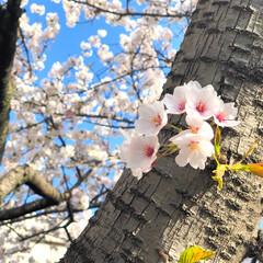 桜/お花見/🍘/さくら 桜きれい☺︎🌸