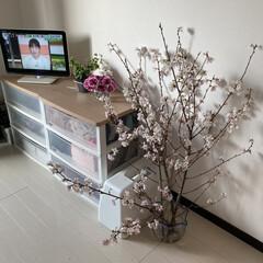 花瓶/金魚鉢/満開/お部屋でお花見/花見/さくら/... (2枚目)