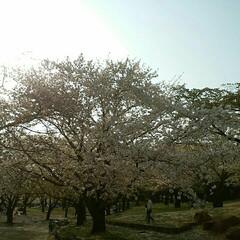 平塚/湘南/桜/お花見/おでかけ 湘南平塚公園の桜🌸   公園内の野球場で…